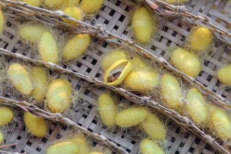 papillon: chrysalide dans un cocon du ver � soie jaune,, cycle de vie du ver � soie.