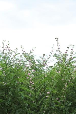 sensitive: Giant sensitive tree Mimosa pigra