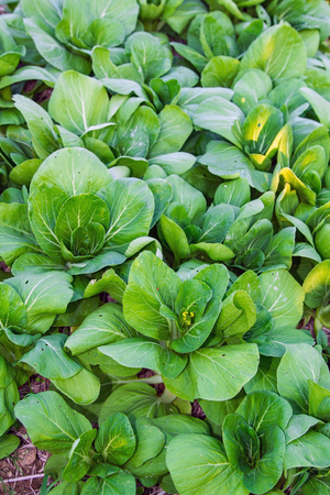 Bok choy chinese cabbage in a field. Stock Photo