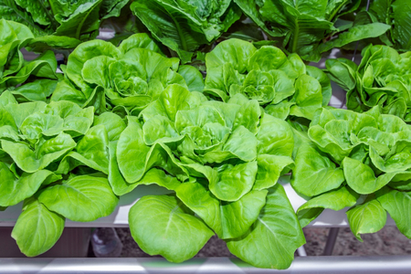 Hydroponics green romaine lettuce vegetables.