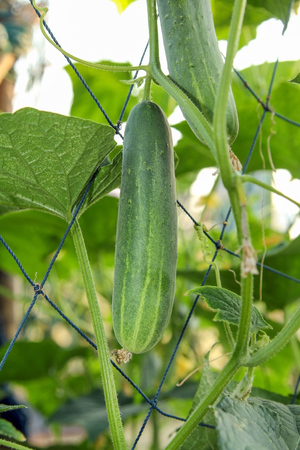Growing cucumbers hanging on the vine in a vegetable garden. Stock Photo