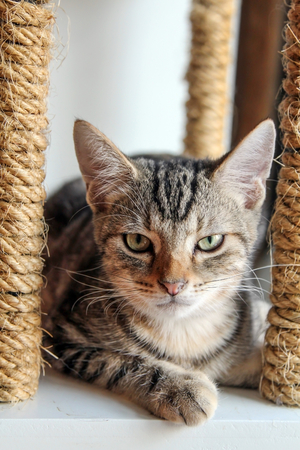 American Shorthair kitten sitting on cat scratching post, straight face. Stock Photo