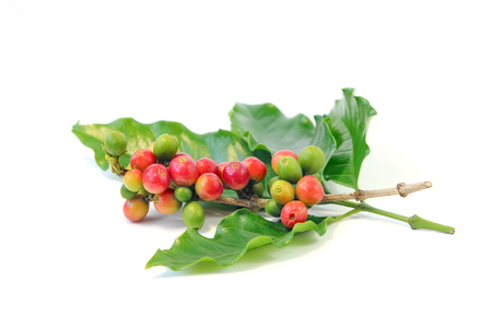 Red and green coffee beans on a branch of coffee tree with leaf on white background