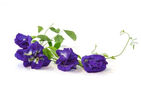 pigeon pea: Vine of Butterfly Pea on white background, Herbal Medicine