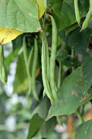 Green beans growing on the vine in a vegetable garden.