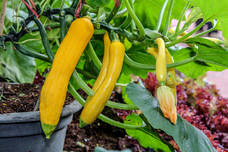 Yellow zucchini with flowers growing on the plant in a vegetable garden. Stock Photo
