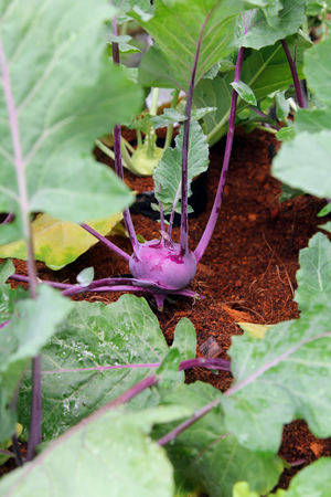 Purple Kohlrabi cabbage growing in the garden, plant, agriculture, nature. Stock Photo