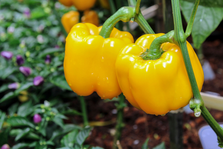 Fresh Yellow bell pepper hanging on tree with water drop in blur background, vegetable, plant, garden. Stock Photo