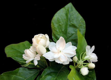 Fresh Jasmine flowers with leaves isolated on black background. Stock Photo