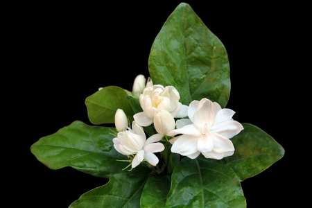 Fresh Jasmine flowers on black background. Stock Photo