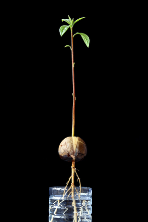 Avocado seed germinating with sprout  and callus on the root in cut of  reuse plastic bottle, black background, Plant. Stock Photo