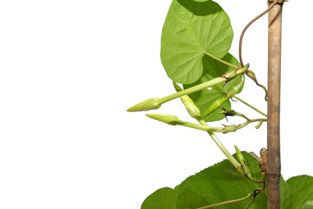 Moonflower on vine isolated on white background, Edible flower, vegetable, food, nature.