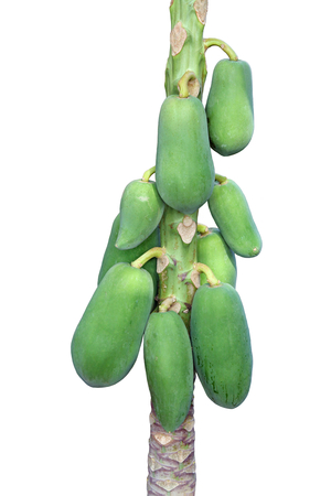 Raw papaya fruits  on the tree isolated on write background.