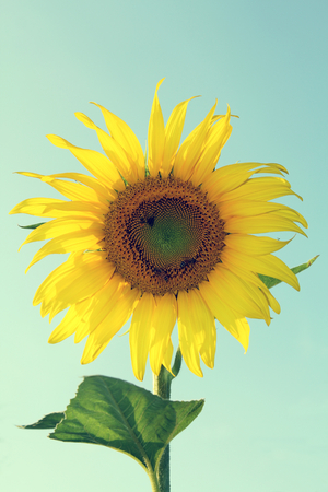 A Sunflower blooming in a field.