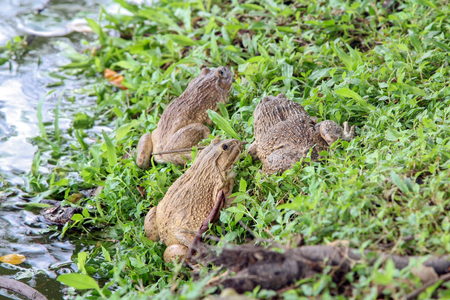 close up eyes: Group of  Bullfrogs sitting on the grass near a pond, edible frog, nature, wildlife.
