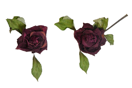 Group of Dried red roses isolated on white background