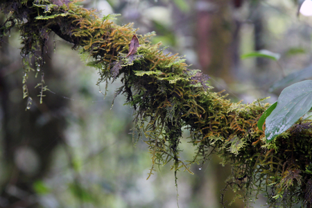 Close-up of a branch of tree cover by moss and fern with dew drop in the jungle tropical rainforest at Kew Mae Pan Nature Trail, Doi Inthanon Nation park, Chiang Mai, Thailand. Stockfoto