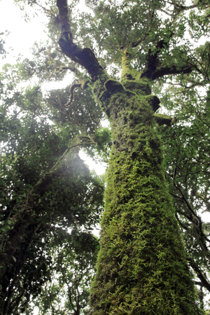 The trunks of big tree covered with green moss in rain seasons, The abundance of nature.