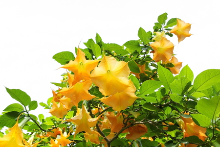 Yellow brugmansia or angels trumpet  flower (Solanaceae) blossom on tree on white background.