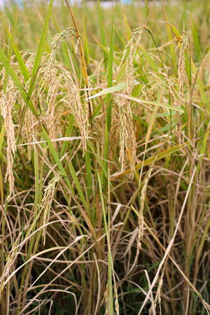 Close up of brown paddy rice field under sunrise. Brown ear of rice in paddy rice field ready to harvest, Agriculture.