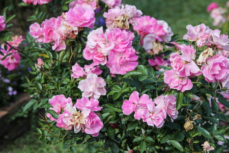 Shrub Pink Rose Tree in a flower garden on nature background. Stockfoto