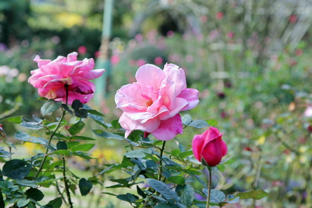 Beautiful   pink rose on trees blooming in the garden, a Hybrid Tea rose, nature background. Stockfoto