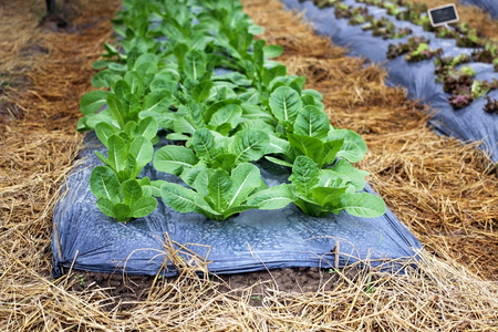 Rows of green cos lettuce salad growing on soil in a farmland with plastic mulch as protection against drought. Agriculture industry,vegetable, Plant.