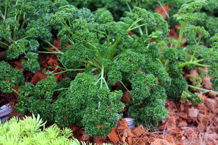 Curly parsley (Petroselinum crispum) growing in the garden. Food ingredient, Herb. Stockfoto