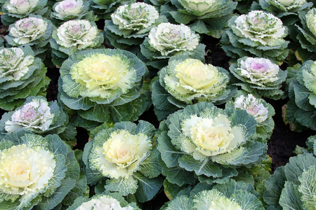 Pigeun series, Ornamental cabbage or Acephala group kale (brassica oleracea)  in nature background, floral pattern, Plant. Stockfoto