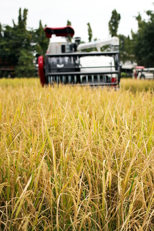 Golden Paddy Rice field harvesting by the combine harvester machine, agriculture.