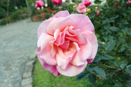 a Hybrid Tea  pink rose on tree blooming in the garden.