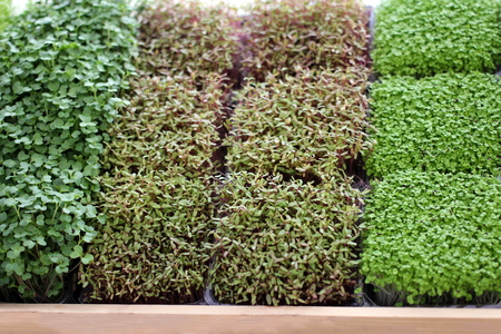 Raw sprouts, microgreens vegetable for healthy food eating concept, Edible plant background.