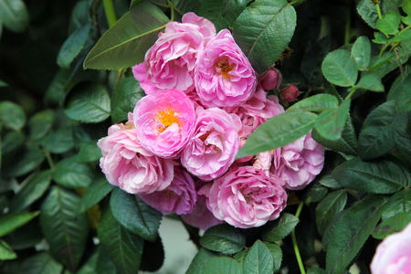 Multiflora Pink Rose blossom on tree, a scrambling shrub climbing Rose.