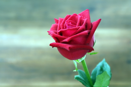 Red roses with water drop on blur background. Selective focus Stockfoto