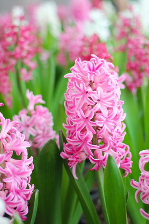 Pink hyacinth flowers blooming at springtime in a garden with blur hyacinth blossom background. Stockfoto