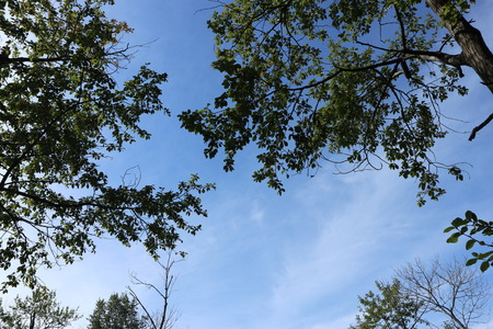 Treetops, blue sky. Forest, summer nature. Looking up.