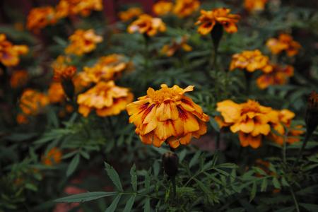 French marigold orange flowers. Tagetes patula. 写真素材