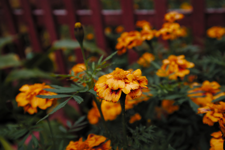 French marigold orange flowers. Tagetes patula. Red wooden fence in the background. Imagens