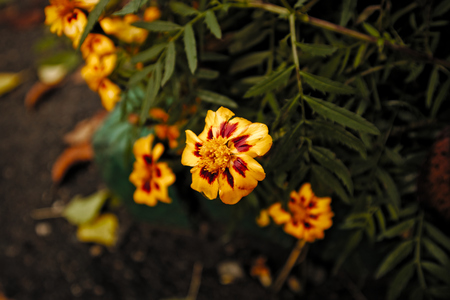 French marigold red and yellow flowers. Tagetes patula.