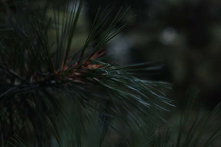 Fir tree needles close-up. Spruce branch. Shallow depth of field