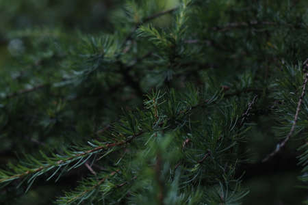 Spruce branches. Fir tree needles close-up. Shallow depth of field 免版税图像