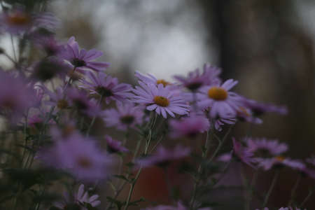 Alpine aster or blue alpine daisy. Aster alpinus, beautiful violet flowers. Soft focus 免版税图像