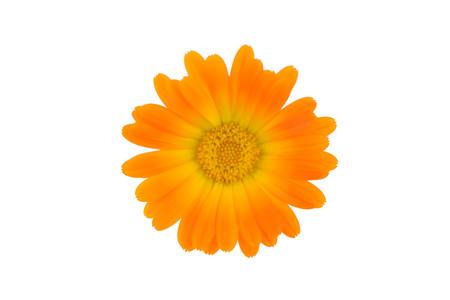 Isolated Marigold Flower.