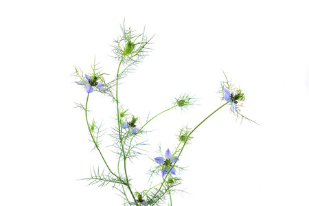 Isolated Nigella Sativa Flower. Фото со стока