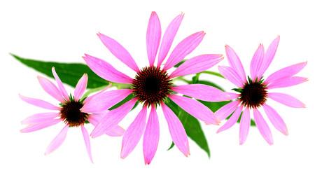Isolated Echinacea Plant.