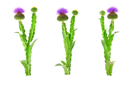 Isolated Onopordum or Cottonthistle Medicinal Herb Plant.