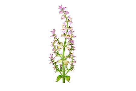 Clary Sage (Salvia Sclarea) Medicinal Herb Flower Plant. Isolated on White Background.