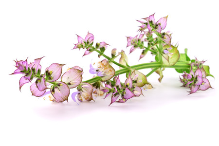 Clary Sage (Salvia Sclarea) Medicinal Herb Flower Plant. Isolated on White Background. Stockfoto