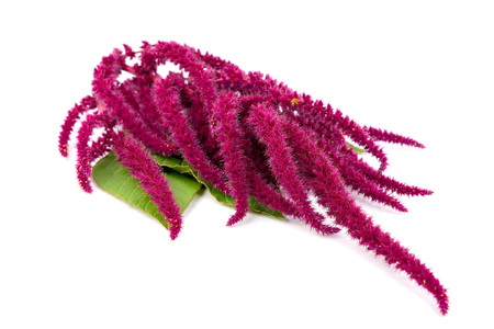 Isolated Amaranth (Amaranthus) Plant.