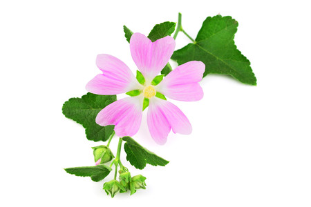 Althaea Officinalis Medicinal Herb Plant. Also Marsh-Mallow, Marsh Mallow or Common Marshmallow. Isolated on White Background.